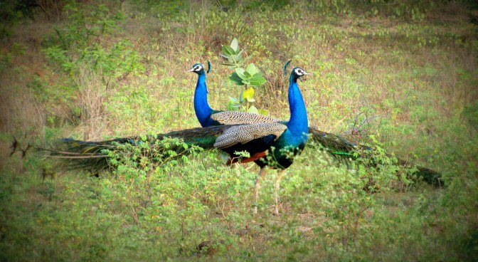 How an unplanned trip of spotting Peacocks in Maharashtra became one of the best experiences